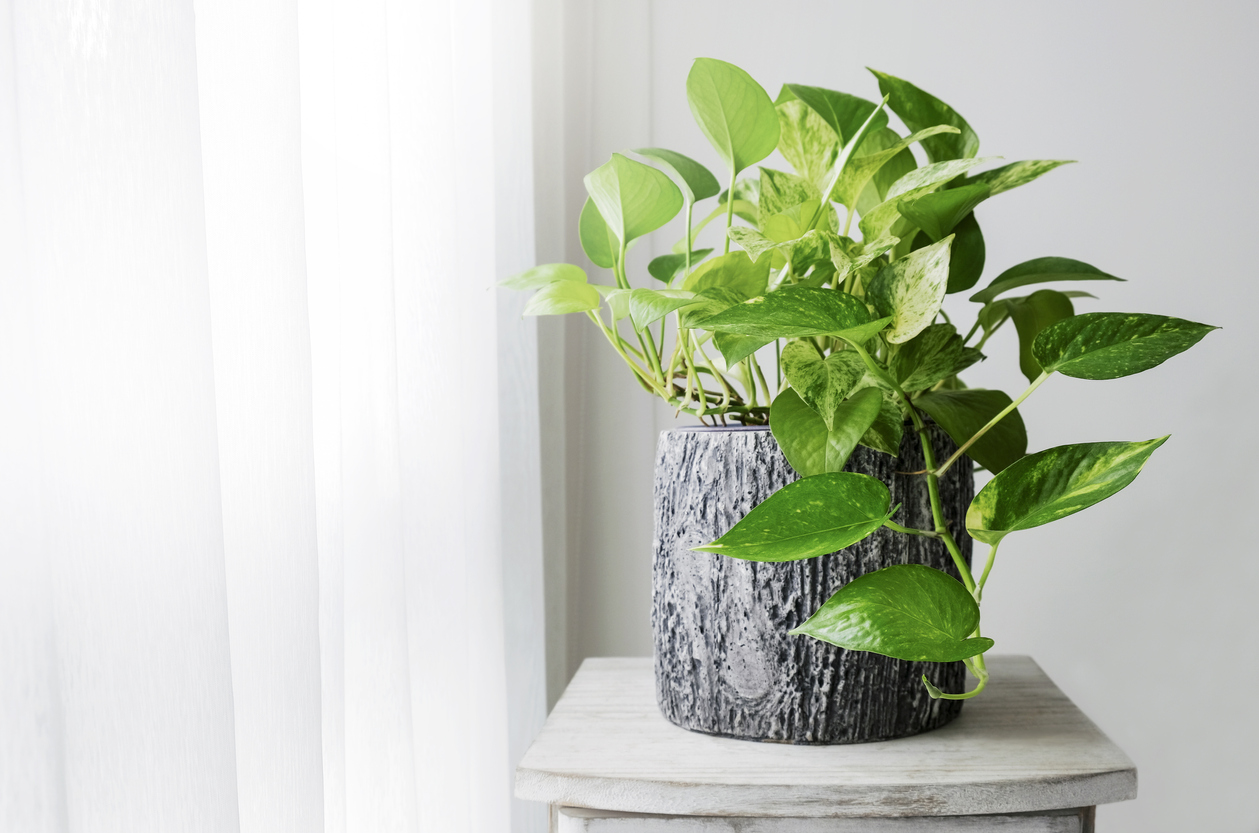 MY HOME IS A JUNGLE - Pothos